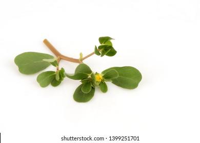 Purslane, Common purslane, green leaves and flowers on white background.