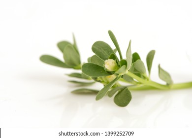 Purslane, Common purslane, green leaves and flowers on white background