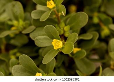 Purslane or Common purslane, medicinal properties.