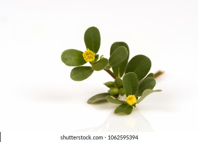 Purslane or Common purslane, medicinal properties.
