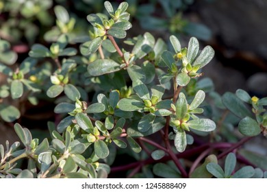 Purslane, Common purslane,trees ,flowers and green leaves have property medicine on natural background.