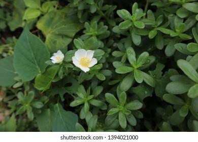 Purslane flower in the morning