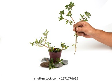 Purslane, a tree with green leaves and flowers have medicinal properties. (plant a tree)