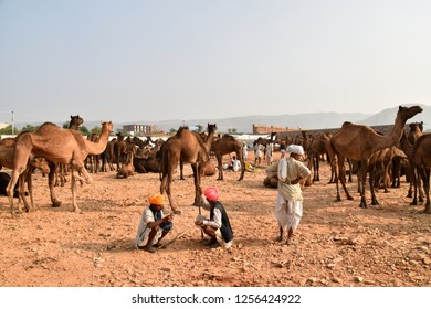 Pushkar, India - 11 16 2018: Camel owners sitting between the camel herds and talking about the camel trade at the Pushkar fair