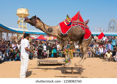 Pushkar / India 17 November 2018 Dancing camel at Pushkar Camel Fair in Pushkar Rajasthan India