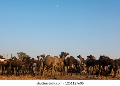 Pushkar / India 18 November 2018 Traders start arriving into Pushkar with their herds of camels at the camel fair grounds in Pushkar Rajasthan India