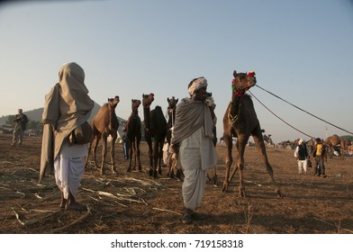 PUSHKAR, INDIA, 19 NOVEMBER 2015 : Indian people with their camels for selling  in Pushkar Camel Fair at Pushkar, Rajasthan, India. This fair is the largest camel trading fair in the world