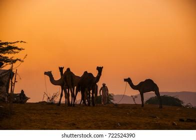 PUSHKAR, INDIA, 19 NOVEMBER 2015 : Camel and camel trader an early morning at sunrise during Camel Fair in Pushkar. Camel Fair is a yearly event in pushkar.