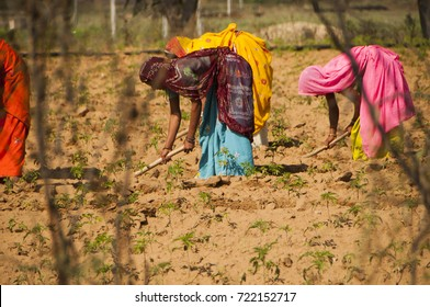 PUSHKAR, INDIA, 24 NOVEMBER 2015 : Unidentified Farmer working at their field, An Indian farming scene.
