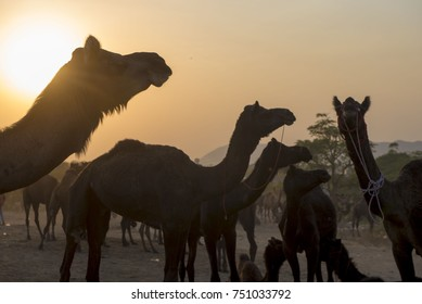 Pushkar / India 27 October 2017  Herd of camels at the Pushkar fair in the golden rays of sunset  in Rajasthan India