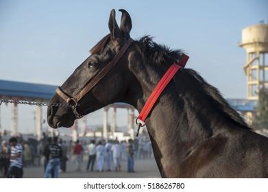 Pushkar / india 9 November 2016, close up of dark brown indian  horse at  Pushkar fair  Rajasthan  India