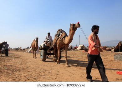PUSHKAR, INDIA - NOV 19:Unidentified camel traders bring camels to the Pushkar Fair on November 19, 2010 in Pushkar, Rajastan, India. Pushkar fair is held annually  to trade camels, horses and cattle.