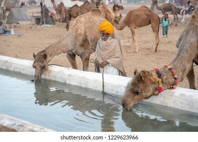 PUSHKAR, INDIA - NOVEMBER 12, 2018 : Camels drink water in desert Thar during annual Pushkar Camel Fair near Pushkar, Rajasthan, India. This fair is largest camel trading fair in the world. Close up