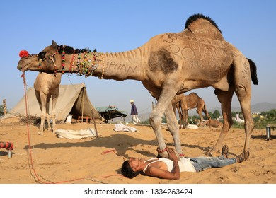PUSHKAR, INDIA - NOVEMBER 13, 2018: Unidentified Gypsy herder trains his camel for the show at the Pushkar Camel Fair, Rajasthan. The fair is the largest camel fair in India.