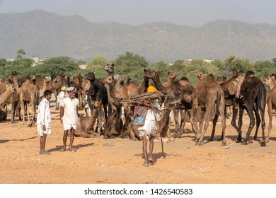 PUSHKAR, INDIA - NOVEMBER 13, 2018 : Indian men and herd camels in desert Thar during Pushkar Camel Mela near holy city Pushkar, Rajasthan, India. This fair is largest camel trading fair in the world