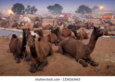 PUSHKAR, INDIA - NOVEMBER 15, 2018: Mela ground with camels at the Pushkar Camel Fair, Rajasthan. The fair is the largest camel fair in India.