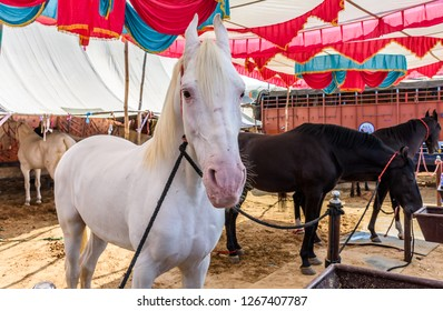 PUSHKAR, INDIA - NOVEMBER 23, 2018 : Expensive horses on display for trade during Pushkar Camel Mela near holy city Pushkar, Rajasthan, India.