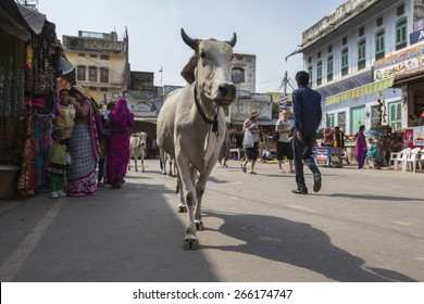 PUSHKAR INDIA-OCT 29 : cow and crowd in main market road, This road is main street for tourist on october,29, 2014, india