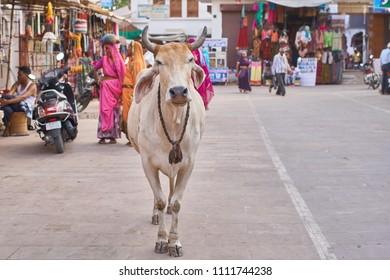 Pushkar, Rajasthan / India - 06 08 2018: A holy cow in the road in Pushkar's main market.