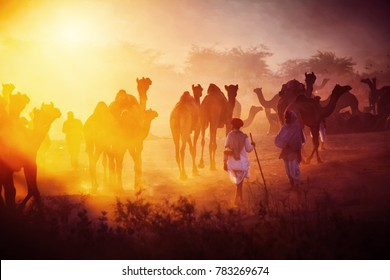 Pushkar. Rajasthan. India - November 25, 2014 : Camels and their herders in the backdrop of  early morning Sun golden light at Pushkar Camel Fair (Pushkar Mela)