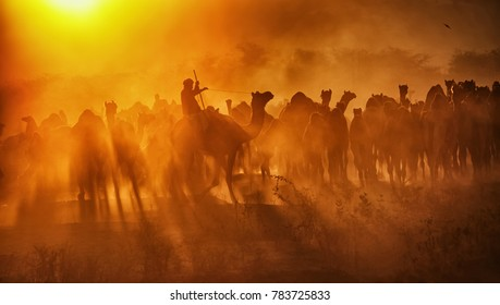 Pushkar. Rajasthan. India - November 25, 2014 : Silhouette of Camels against Golden light of the Sunrise at Pushkar Camel Fair (Pushkar Mela)