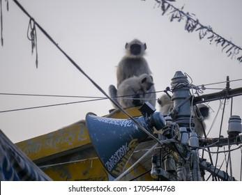 Pushkar, Rajasthan / India - November 8, 2019 : Indian Langur Monkey resting on house roof