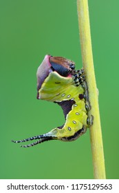 the puss moth - Cerura vinula