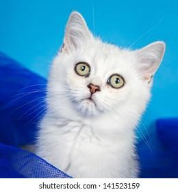 Pussy of british cat in studio