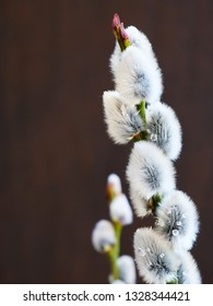 Pussy willow catkins, silver hairy flowers on branches over dark background. Easter concept.