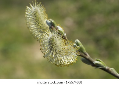 Pussy willow flower blooming in the spring