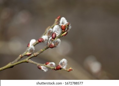 Pussy willow flowers on the branch, blooming verba in spring forest. Palm Sunday symbol, catkins for Easter background
