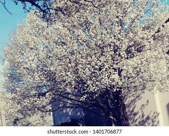 PUSSY Willow Tree pretty tree that smells bad.4/2019 Okc,Ok