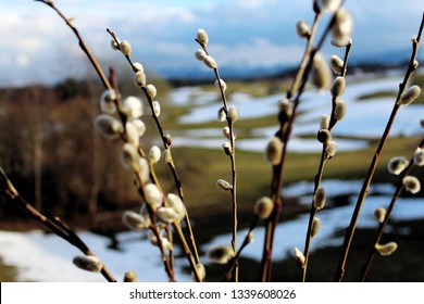 Pussy willows in front of a hilly landscape with melting snow (close up with selected focus)