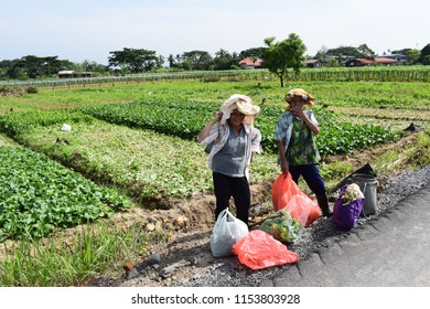 Putatan, Malaysia-Aug 11,2018:Two elderly women collecting wild edible plants with traditional medicinal properties passing through a vegetable farm.