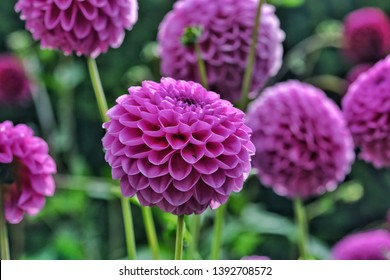 Putple Pom pon dahlia flowers or also known as ball dahlia flowers in the garden