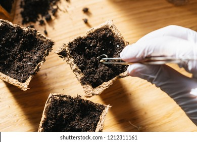 Putting cannabis seed with tweezers in a pot, medical marijuana growing concept image