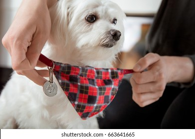 Putting on dog-collar with scarf and address pendant