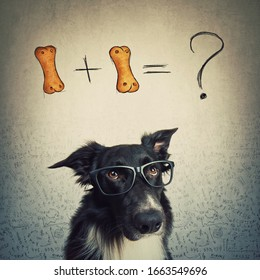Puzzled dog wearing eyeglasses trying to calculate 1+1 biscuit formula. Funny Border Collie has counting questions, solving difficult food mathematics. Pet intelligence concept.