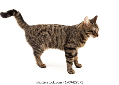 Puzzled striped young cat stands. Isolated on abstract blurred white background. Veterinary and advertising mockup. Detailed studio closeup
