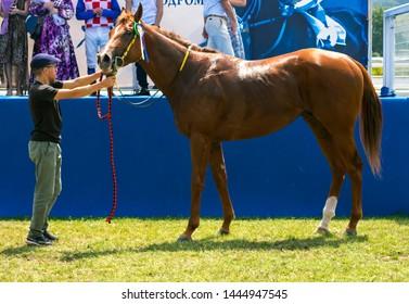 "PYATIGORSK, RUSSIA - JUNE 23,2019: The winner horse race of the traditional prize ""Ogranichitelni"" - purebred red stallion Nardin on Pyatigorsk hippodrome,Northern Caucasus,Russia."