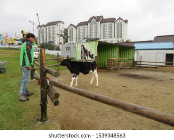 Pyeongchang, Korea-October 18, 2019: Man interacting with black and white calf in a barnyard exhibit, located on the grounds of the famed Yongpyong Ski Resort