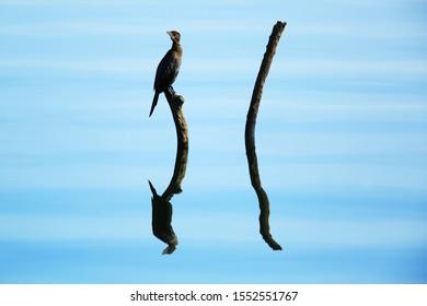 Pygmy cormorant on the branch