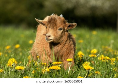 PYGMY GOAT OR DWARF GOAT capra hircus, 3 MONTHS OLD BABY WITH FLOWERS