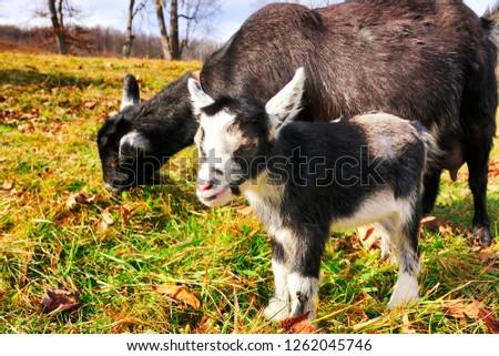 Pygmy Goat Kid Nanny Family Farm Stock Photo (Edit Now) 1262045746