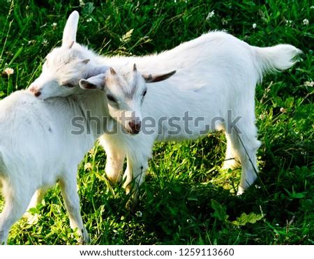 Pygmy Goat Kid Twins Family Farm Stock Photo (Edit Now) 1259113660