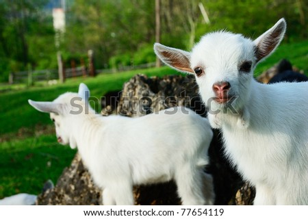 Pygmy Goat Kid Twins Family Farm Stock Photo (Edit Now) 77654119