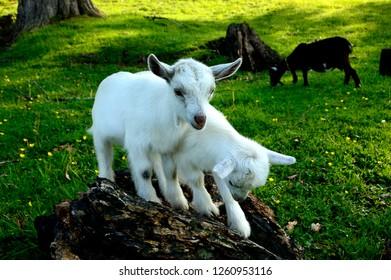 Playful Goat Images, Stock Photos & Vectors | Shutterstock
