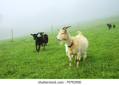 Pygmy goats in morning fog, family farm, Webster County, West Virginia, USA