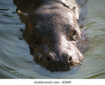 Pygmy hippo (Choeropsis leberiensis) in the water