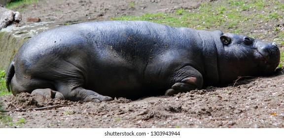 The pygmy hippopotamus (Choeropsis liberiensis or Hexaprotodon liberiensis) is a small hippopotamid which is native to the forests and swamps of West Africa, primarily in Liberia